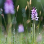 Gevlekte orchis in de Urkhovense zeggen